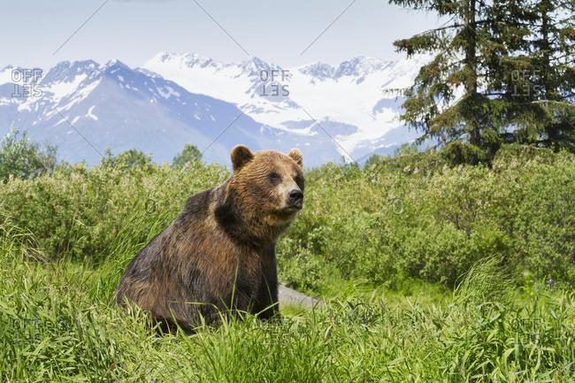Captive Brown bear (ursus arctos) eating grass at the Alaska Wildlife Conservation Center; Portage, Alaska, United States of America