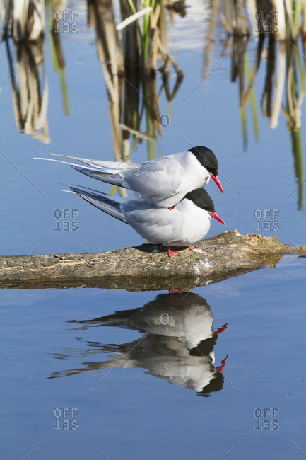 Arctic Tern (Sterna paradisaea) showing aggression at Potter Marsh, summertime in South-central Alaska; Alaska, United States of America