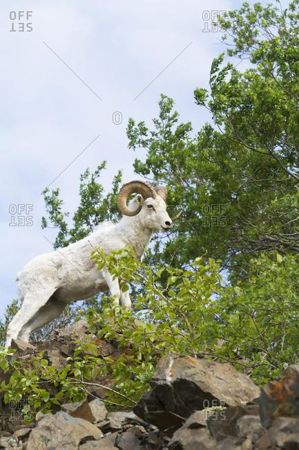 Dall Sheep (ovis dalli) ram on rocks, South-central Alaska in summertime; Alaska, United States of America