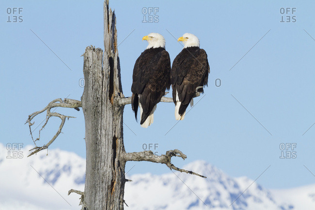 Adult Bald eagles (Haliaeetus leucocephalus) on saltwater-killed tree, Portage Valley in South-central Alaska; Alaska, United States of America