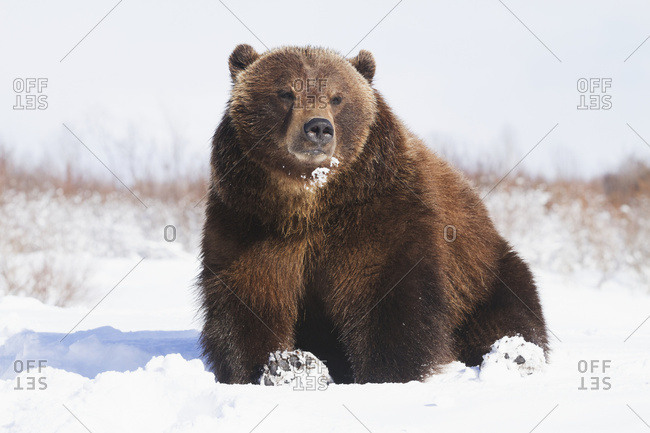 Captive brown bear (ursus arctos) in snow at the Alaska Wildlife Conservation Center in winter, South-central Alaska; Portage, Alaska, United States of America