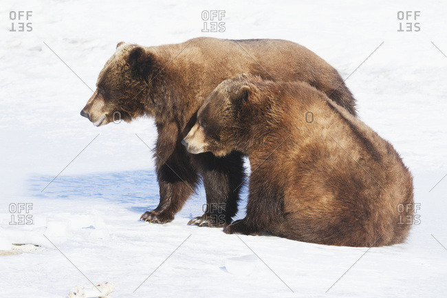 Captive brown bears (ursus arctic) in snow at the Alaska Wildlife Conservation Centre in winter, South-central Alaska; Portage, Alaska, United States of America