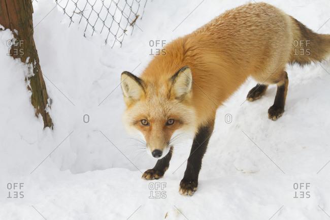 Captive Red fox (Vulpes vulpes) at the Alaska Wildlife Conservation Center, South-central Alaska in winter; Portage, Alaska, United States of America