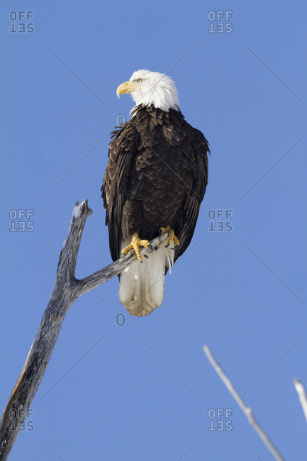 Bald Eagle (Haliaeetus leucocephalus) perch in a tree; Portage, Alaska, United States of America