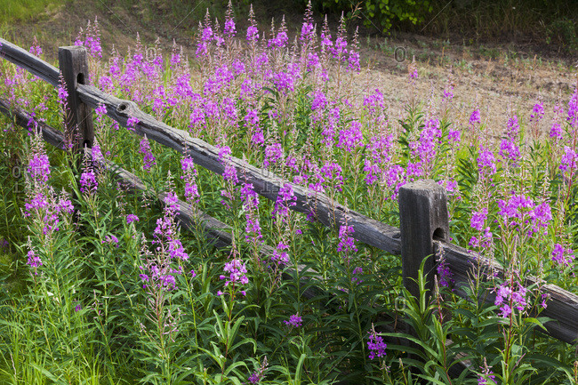 Fireweed (Chamerion angustifolium) growing around wooden fence, Creamer's Field; Fairbanks, Alaska, United States of America