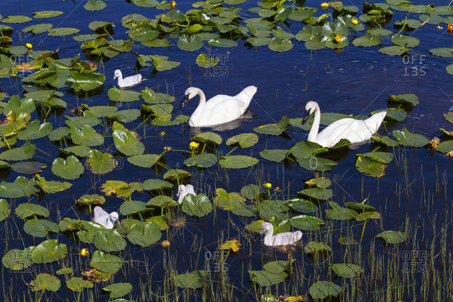 A family of Trumpeter Swans (Cygnus buccinator) in a small pond next to the Seward Highway at Mile 14.7, South-central Alaska in summertime; Alaska, United States of America