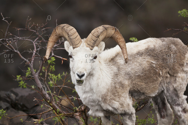Dall sheep (ovis dalli) ram in springtime in Denali National Park and Preserve, interior Alaska; Alaska, United States of America