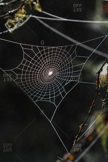 Spider web glistens in the low morning light in summertime, South-central Alaska near Cooper Landing; Alaska, United States of America
