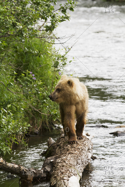 Brown bear (ursus arctos) next to the Russian River of Kenai Peninsula in summertime, South-central Alaska; Alaska, United States of America