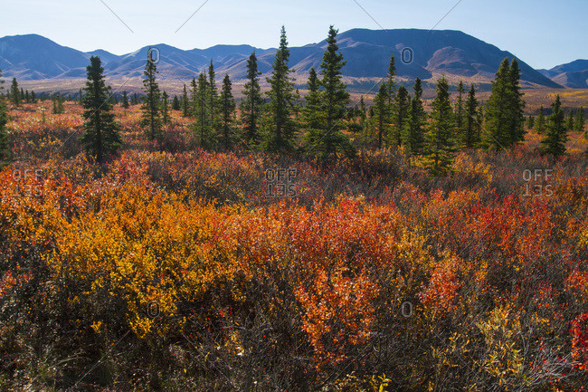 Autumn colors in Denali National Park and Preserve, interior Alaska in autumn; Alaska, United States of America