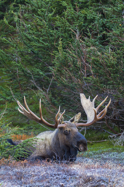 Large bull moose (alces alces) on Powerline Pass Trail in Anchorage hillside area in autumn; Anchorage, Alaska, United States of America