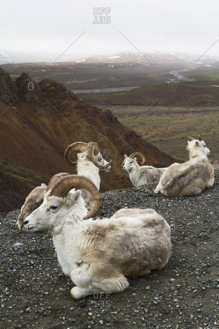 A band of Dall sheep (ovis dalli) rams rest up in Polychrome Pass of Denali National Park and Preserve in springtime; Alaska, United States of America