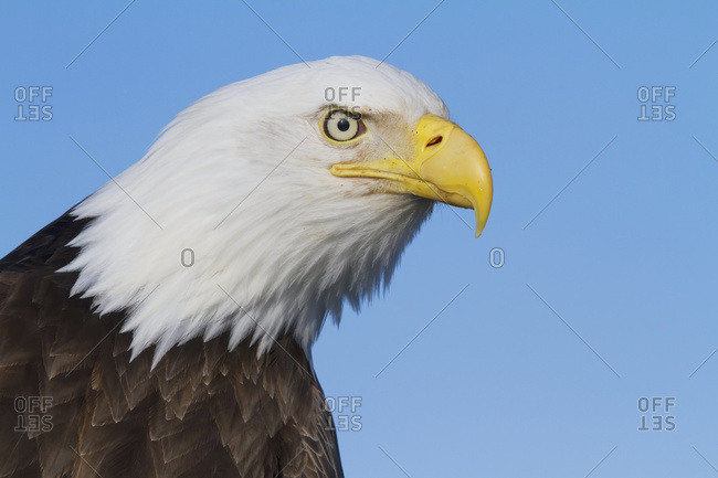 Bald eagle (Haliaeetus leucocephalus) with smooth head feathers; Homer, Alaska, United States of America
