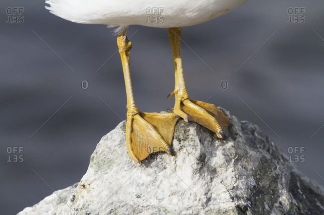 Mew gull (Larus canus) feet, Potter Marsh, near Anchorage, south-central Alaska; Alaska, United States of America