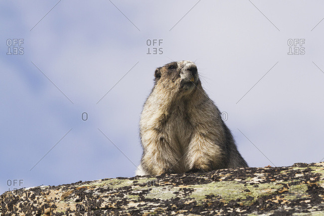 An adult Hoary Marmot (Marmota caligata) suns itself on a rock in the high country of Denali National Park and Preserve, interior Alaska in summertime; Alaska, United States of America