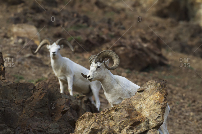 A pair of Dall sheep (ovis dalli), Denali National Park and Preserve, summertime in interior Alaska; Alaska, United States of America