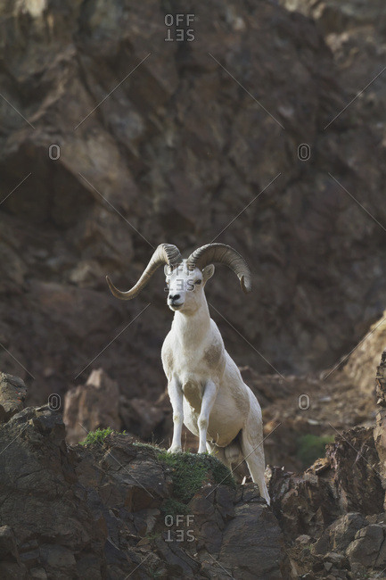 Dall sheep (ovis dalli) with nice flared horns and good coat, Denali National Park and Preserve, summertime in interior Alaska; Alaska, United States of America