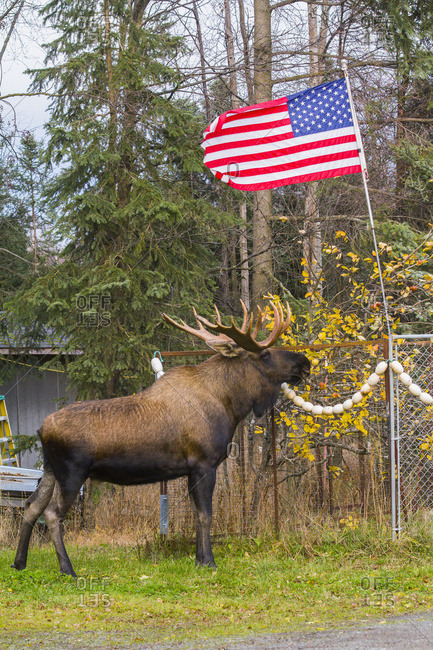 A large bull moose (alces alces) stands near an American flag near Jewel Lake Road in autumn; Anchorage, Alaska, United States of America