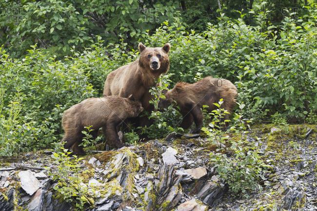 Brown bear cubs (ursus arctos) nurse from mother, Valdez area near fish hatchery at Allison Point, south-central Alaska in summertime; Alaska, United States of America