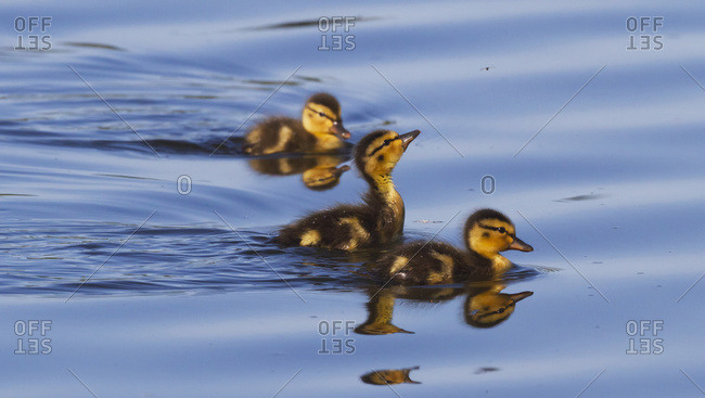 Mallard (Anas platyrhynchos) chicks at Potter Marsh near Anchorage, south-central Alaska; Alaska, United States of America