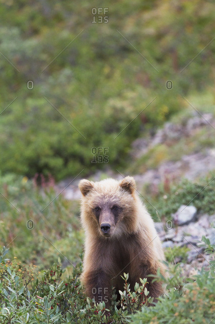 Grizzly (ursus arctos horribilis) cub on park road and looking at camera, Denali National Park and Preserve, interior Alaska in summertime; Alaska, United States of America