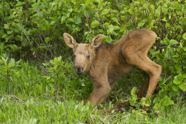 Baby moose calf (alces alces); Anchorage, Alaska, United States of America