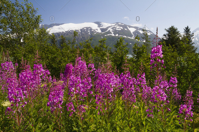 A stand of fireweed (Chamerion angustifolium) next to Portage Lake in South-central Alaska in summertime; Alaska, United States of America
