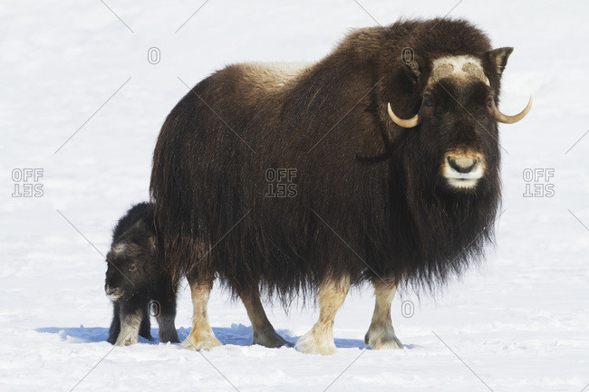 Captive cow musk ox (Ovibos moschatus) with one day old calf at the Alaska Wildlife Conservation Center; Portage, Alaska, United States of America