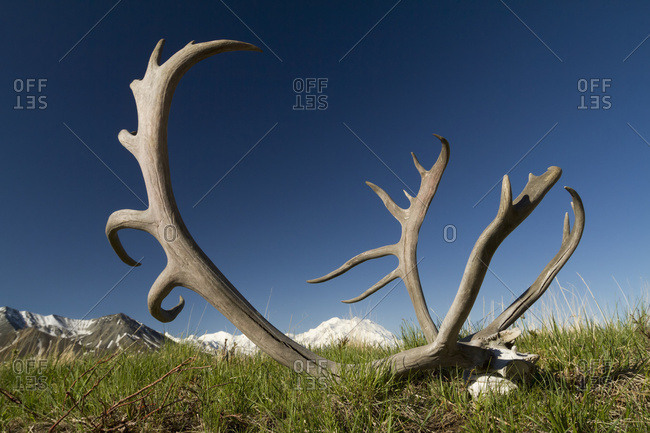 Caribou rack on tundra in Denali National Park with Denali in the background, interior Alaska in summertime; Alaska, United States of America