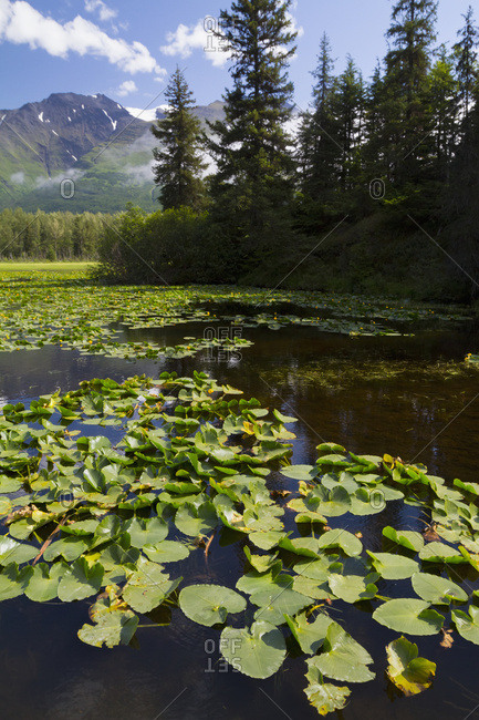 A small lake full of lily pads at mile 14.7 of the Seward Highway, summertime in South-central Alaska; Alaska, United States of America