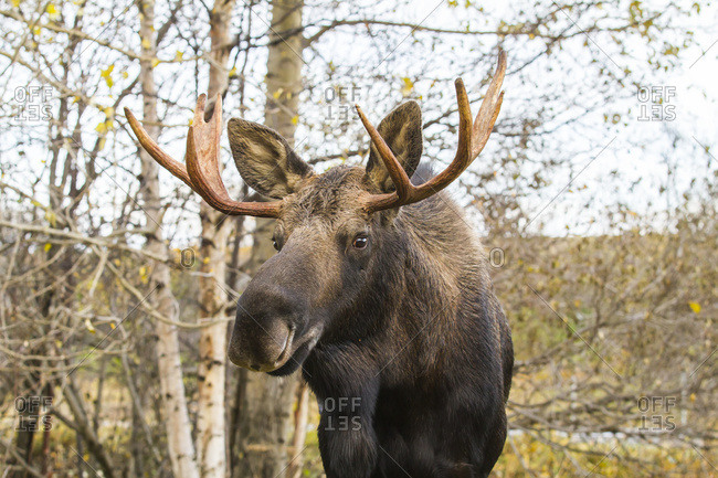 Bull moose (alces alces) in Point Woronzof Park in west side of Anchorage in autumn; Anchorage, Alaska, United States of America