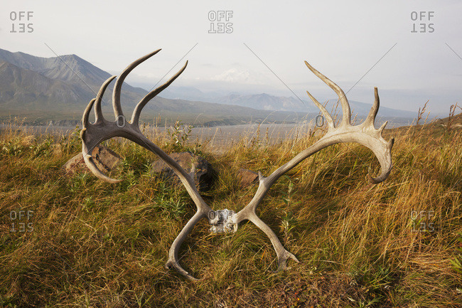 Caribou skull and antlers lay at the Eielson Visitor Center in Denali National Park and Preserve in autumn, Denali in the background; Alaska, United States of America