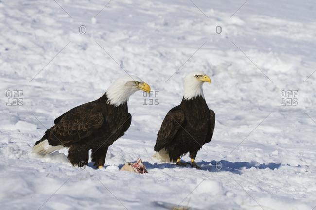 Bald Eagle (Haliaeetus leucocephalus) pair standing in the snow, near Girdwood; Alaska, United States of America