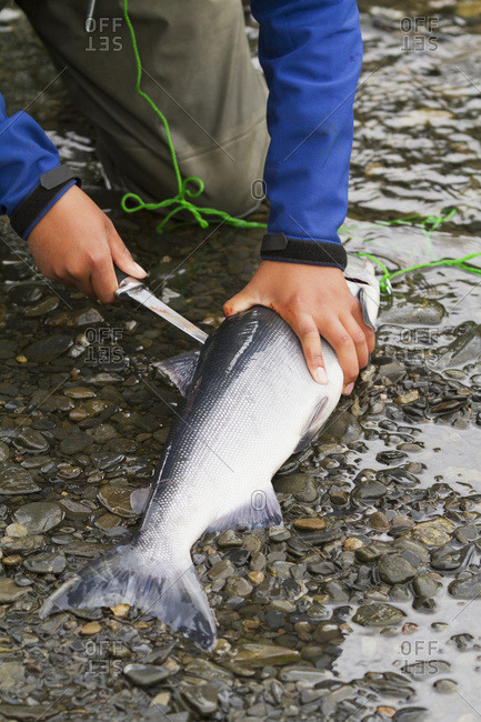 Filleting a Sockeye salmon (Oncorhynchus nerka) on the Russian River, South-central Alaska; Alaska, United States of America