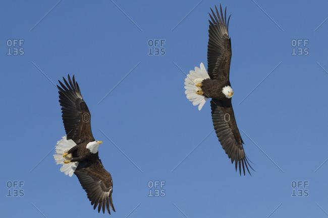 Bald Eagle (Haliaeetus leucocephalus) pair in flight in a blue sky, near Girdwood; Alaska, United States of America