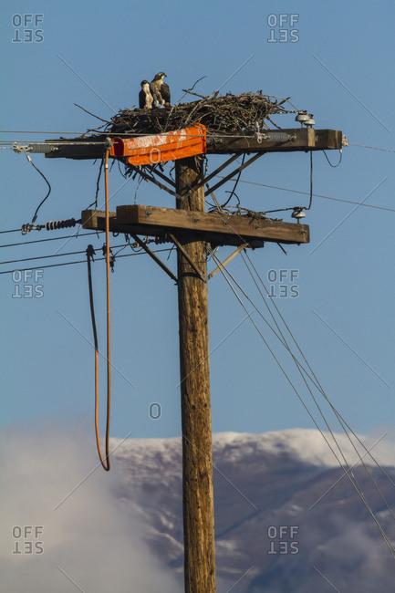 Nesting Osprey (Pandion haliaetus) in the Matanuska Valley near Palmer; Alaska, United States of America