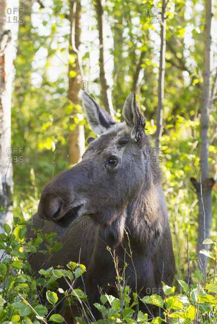 Moose (alces alces) standing in the lush foliage in a forest in summertime; Anchorage, Alaska, United States of America