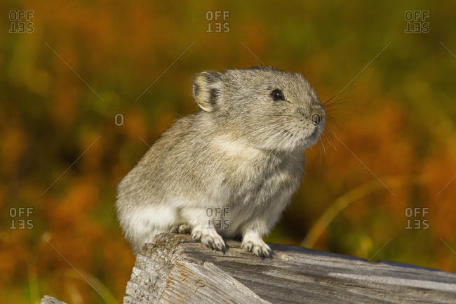 Collared Pika (Ochotona collaris) in Hatcher Pass area near Palmer and Independence Mine in autumn, South-central Alaska; Alaska, United States of America