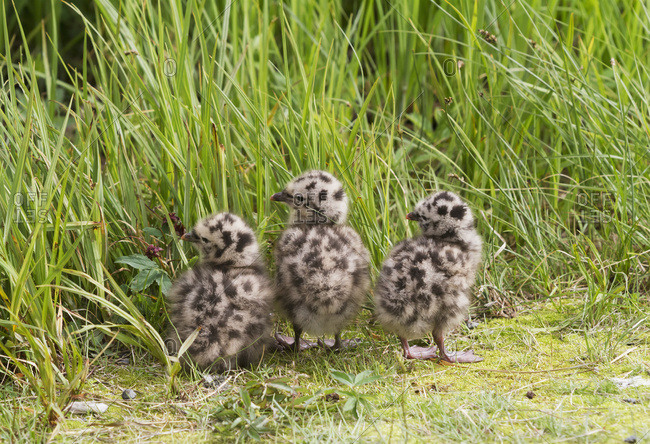 Mew gull (Larus canus) chicks at Potter Marsh; Anchorage, Alaska, United States of America