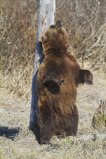 Captive brown bear (ursus arctos) scratching on post at the Alaska Wildlife Conservation Center; Portage, Alaska, United States of America