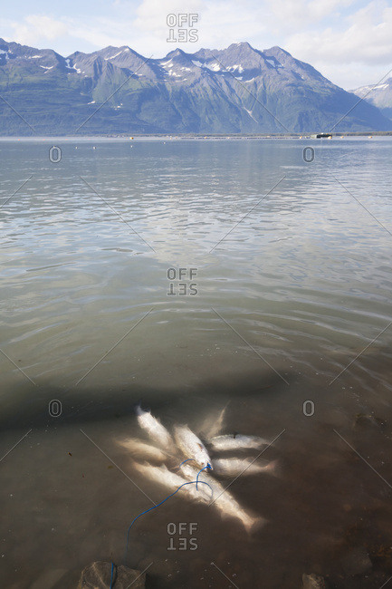 A fisherman's stringer of Pink salmon (Oncorhynchus gorbuscha) lays in the shallow waters of the ocean across from the town of Valdez; Alaska, United States of America