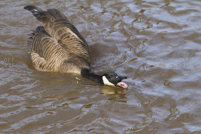 A Canada goose (Branta canadensis) in a pond makes a threatening gesture at another nearby pair of geese; Anchorage, Alaska, United States of America