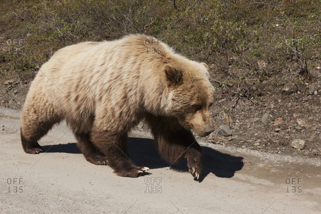 Grizzly (Ursus arctos horribilis) walking on park road in Denali National Park in summertime; Alaska, United States of America