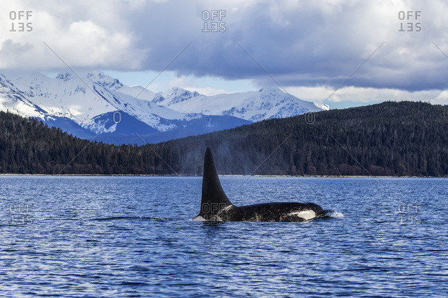 An Orca Whale, or Killer Whale, (Orcinus orca) surface near Juneau in Lynn Canal, Inside Passage; Alaska, United States of America
