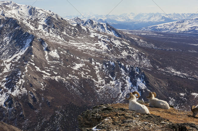 Scenic view of overlooking mountains in early spring with Dall sheep rams in the foreground, Denali National Park, Interior Alaska