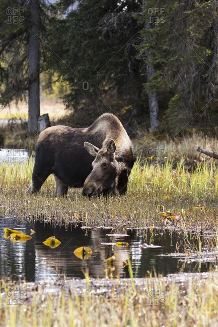 Cow moose feeds in a pond next to the Seward Highway near Moose Pass, Kenai Peninsula, South-central Alaska