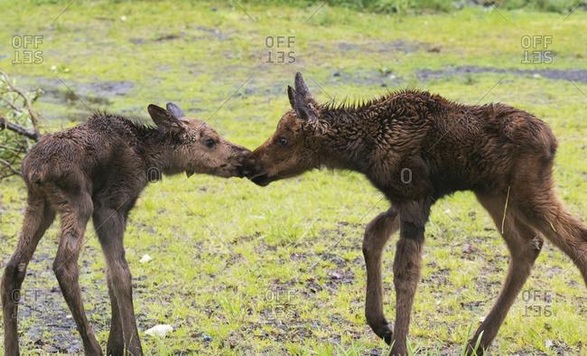 CAPTIVE: Two moose calves touch noses in spring, Alaska Wildlife Conservation Center, South-central Alaska