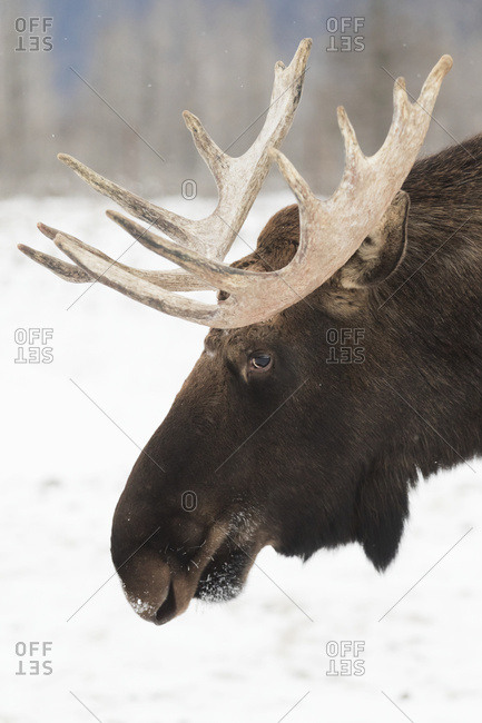 CAPTIVE: Close up of a bull moose in winter at the Alaska Wildlife Conservation Center, South-central Alaska, USA