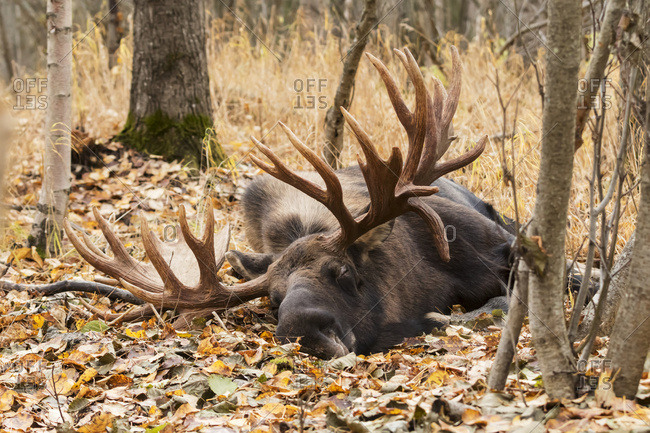 Large bull moose sleeping near Tony Knowles Coastal Trail in autumn, Anchorage, South-central Alaska, USA