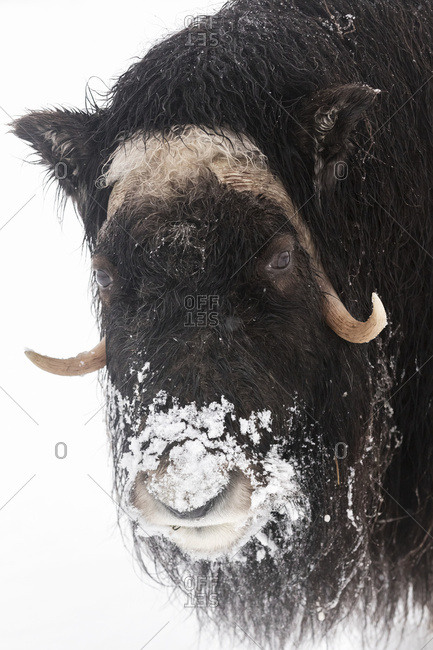 CAPTIVE: Close up of a Musk Ox with a frosty face in winter, Alaska Wildlife Conservation Center, South-central Alaska
